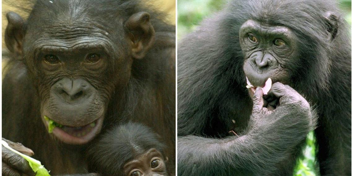 Chimpancé bonobo. Foto: EFE