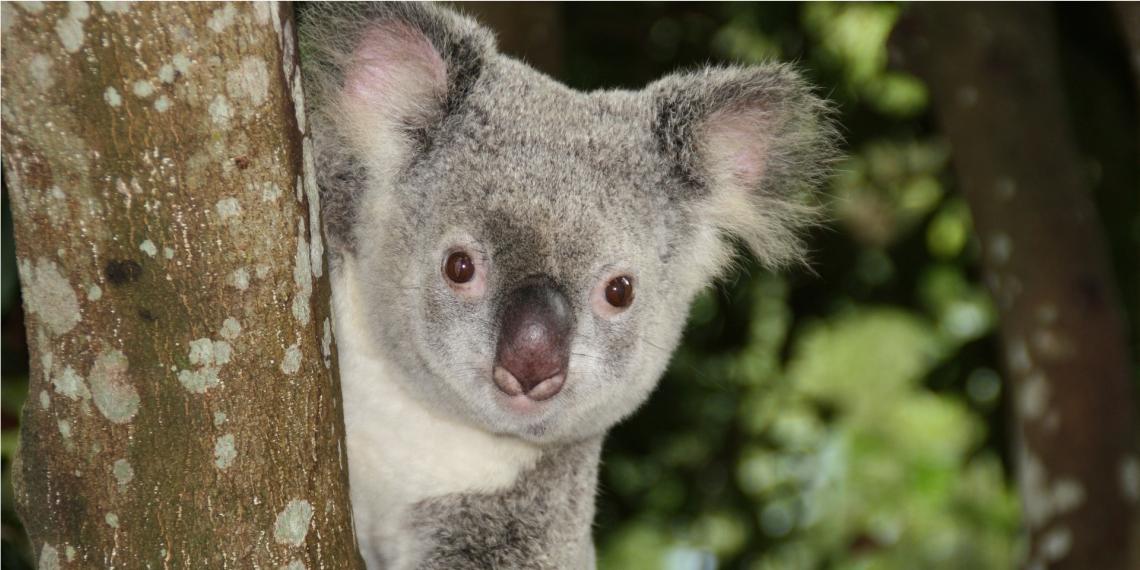 Organizaciones ambientalistas han denunciado la disminución masiva de koalas en Australia. Foto: Pixabay.