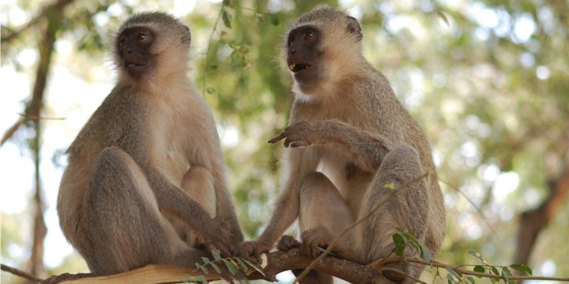 Monos verdes de África. Foto: Pixabay.