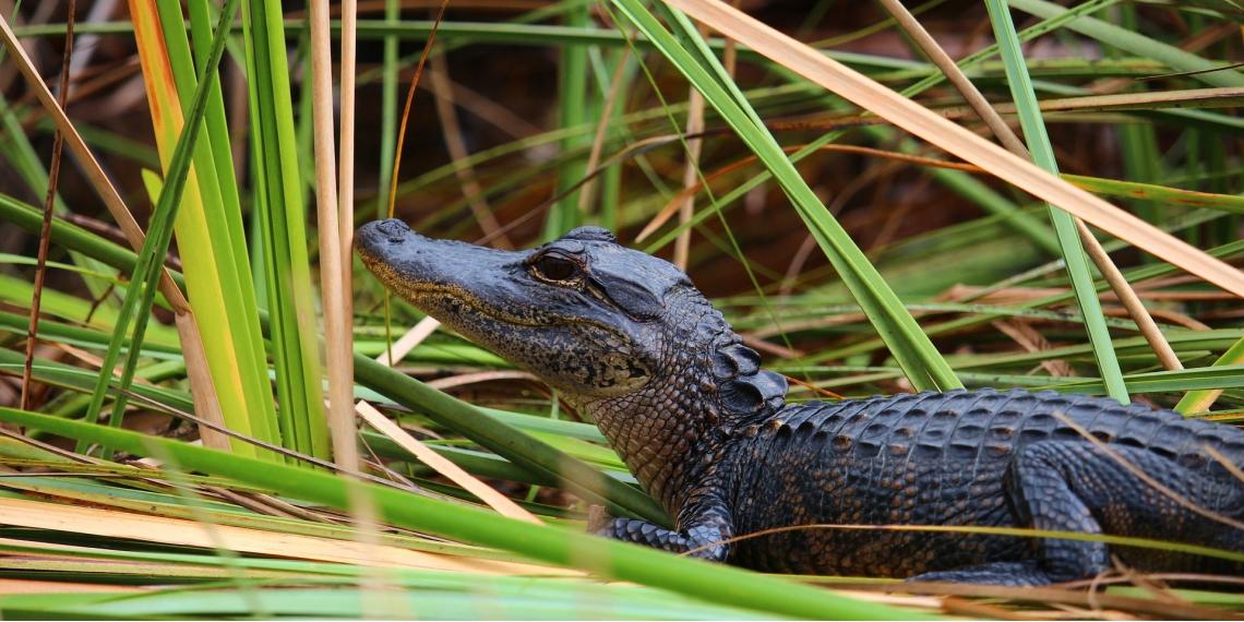 El caimán medía 30 centímetros y fue sacado por la mujer del bolsillo de su pantalón. Foto: Pixabay.