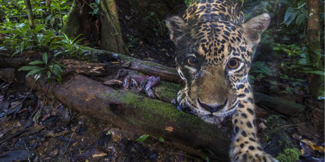 Las maravillosas imágenes de jaguares captadas en el Amazonas