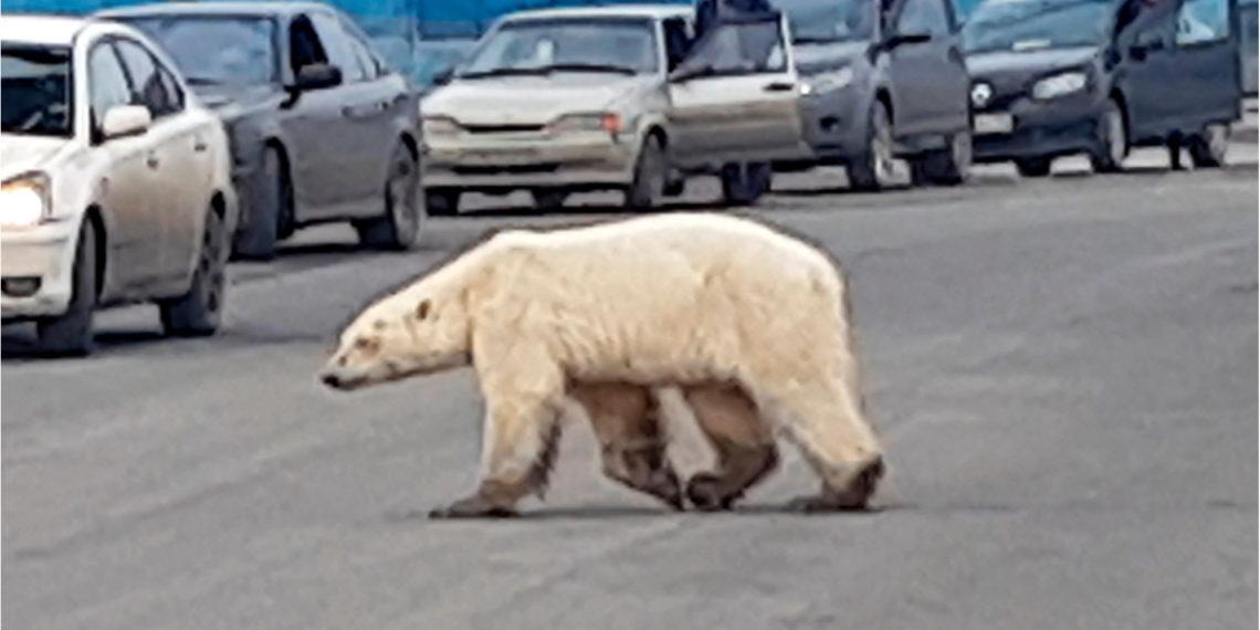 El oso polar que viajó cientos de kilómetros lejos de su hábitat para buscar comida