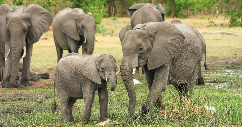 Запрет на продажу африканских слонов