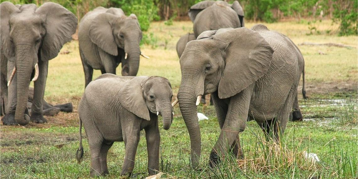 Aprueban las primeras licencias para cazar elefantes en Botsuana. Foto: Pixabay