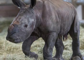 Foto: AP / San Diego Zoo