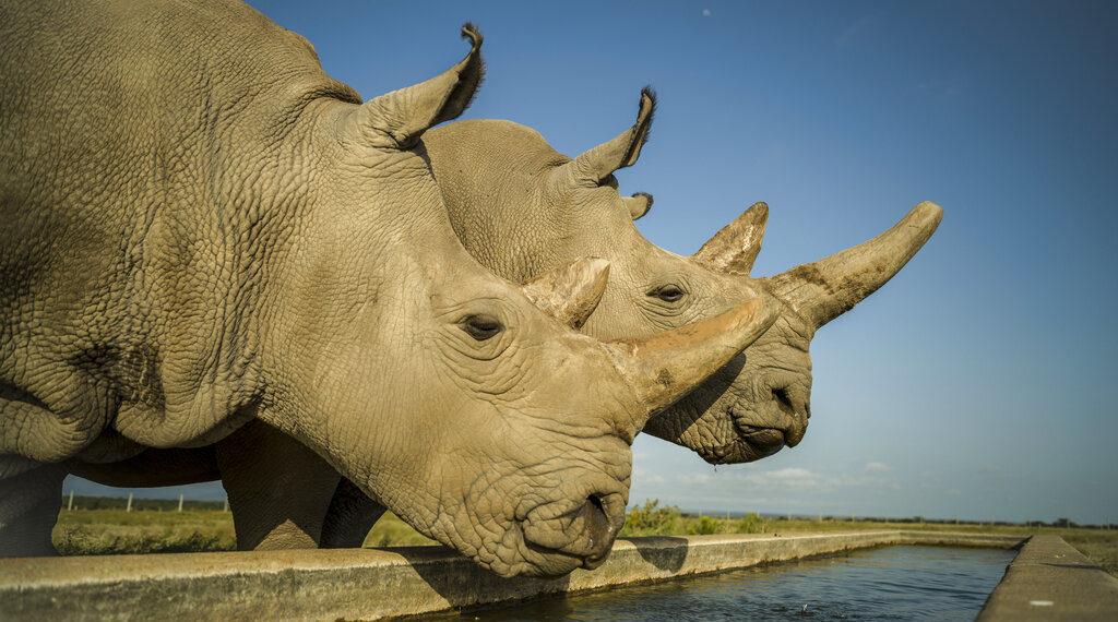 Hembras de rinoceronte blanco del norte. Foto: AP