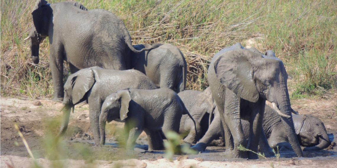 Elefantes africanos. Foto: AP