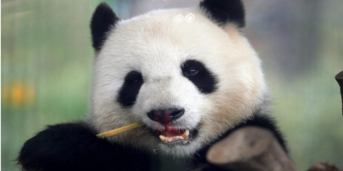 Osa panda Meng Meng comiendo bambú en el zoológico de Berlín. Foto: AP