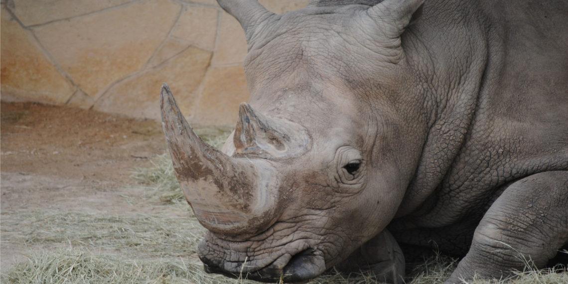 Imagen de referencia de rinoceronte blanco. Foto: SeaReeds/Pixabay
