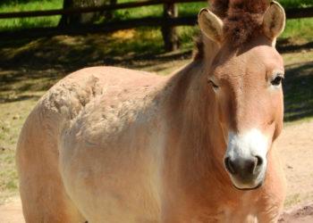 Descubren que Chernobyl se ha convertido en un «refugio» para un caballo en peligro de extinción