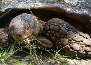 Murió 'Alagba', la tortuga de 344 años considerada la más vieja de África