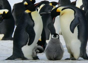 Piden mayor protección para el pingüino emperador ante la amenaza del cambio climático