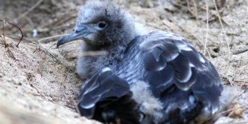 Las aves se alimentan del plástico que es arrastrado por el océano. Foto: AP