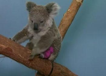 Animales silvestres son víctimas de los incendios en Australia