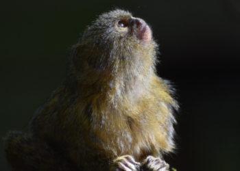 Imagen de referencia de un mono Titi. Foto: Pixabay