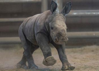 Cría de rinoceronte nacida en el zoológico de San Diego (EE.UU.). Foto: AP