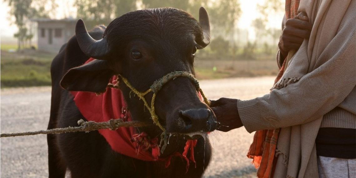 Sacrifican a más de 6.000 búfalos en la mayor matanza ritual de animales del mundo