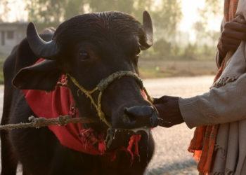 En el ritual se sacrifican miles de animales en honor a una diosa hindú. Foto: AFP