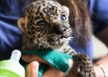 Cría de jaguar rescatada en una selva de Perú. Foto: EFE