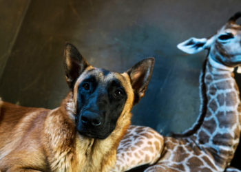La jirafa 'Jazz' y el perro 'Hunter' tuvieron una bonita amistad en las instalaciones de un orfanato en Sudáfrica. Foto: AP