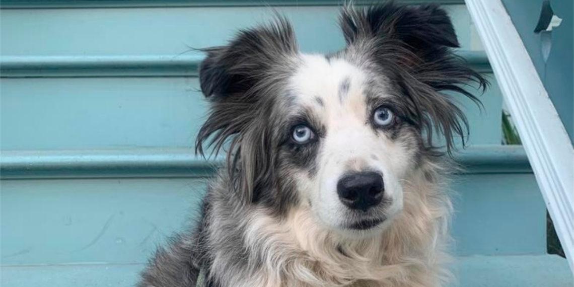 Jackson, el perro de raza pastor australiano que fue robado en EE.UU. Foto: AP