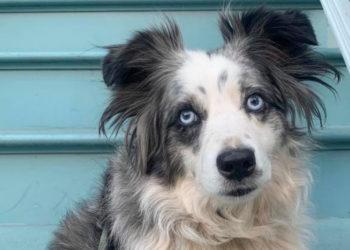 Ofrecen recompensa de 7.000 dólares para recuperar a un perro robado en EE.UU.