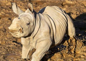 La rinoceronte nació en el Zoológico de San Diego. (EE.UU). Foto: AP