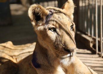 Los leones se encuentran en unas graves condiciones en un zoológico de Sudán. Foto: AFP