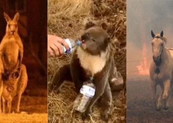 Los animales han sido los más afectados por los incendios en Australia. Foto: AP / AFP