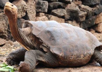 La tortuga 'Diego' ayudó a salvar a su especie del peligro de  extinción. Foto: EFE