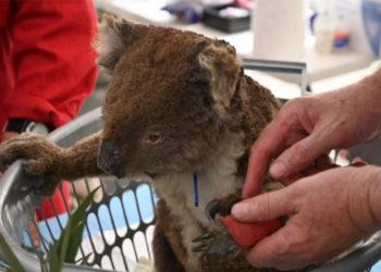 En un improvisado hospital buscan salvar a koalas afectados por los incendios en Australia