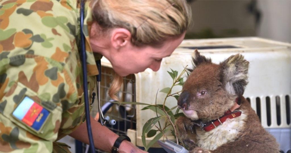 Los veterinarios se esfuerzan en sanar las quemaduras que sufren estos koalas. Foto: AFP