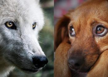 Imagen de referencia de un lobo y un perro. Foto: Pixabay.