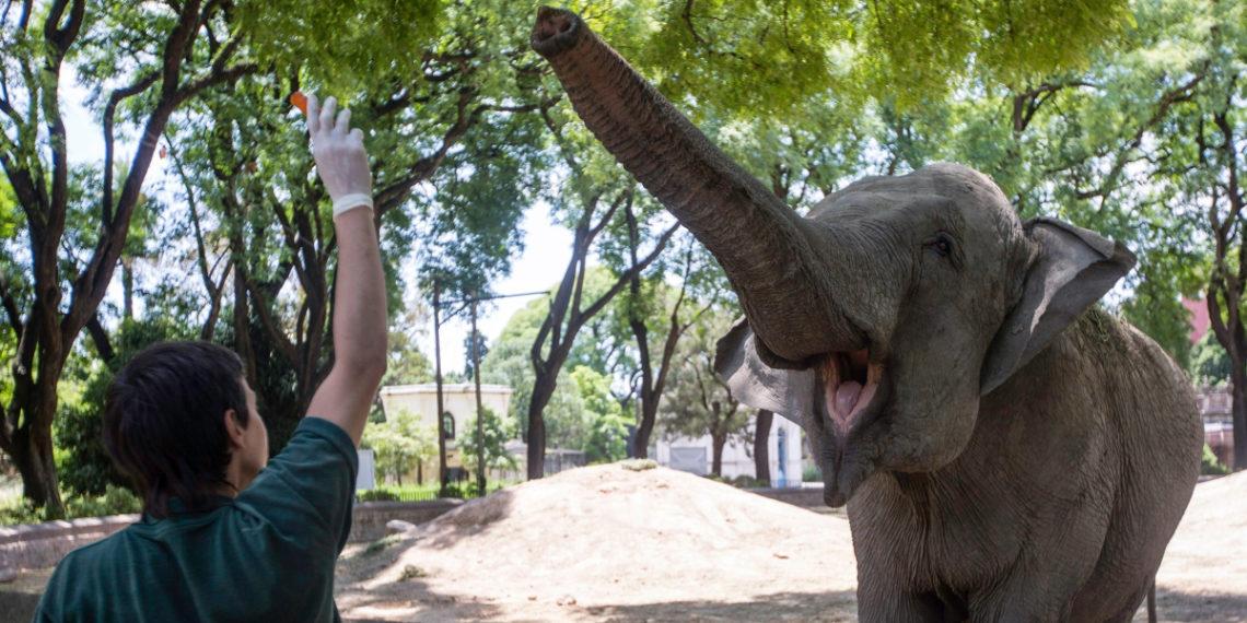 La elefanta Mara se prepara para su viaje a una reserva natural en Brasil. Foto: AP