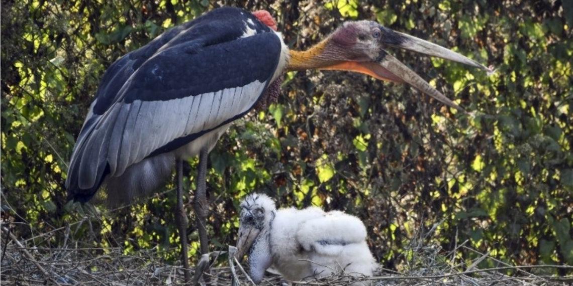 Marabú argala, ave en peligro de extinción. Foto: AFP