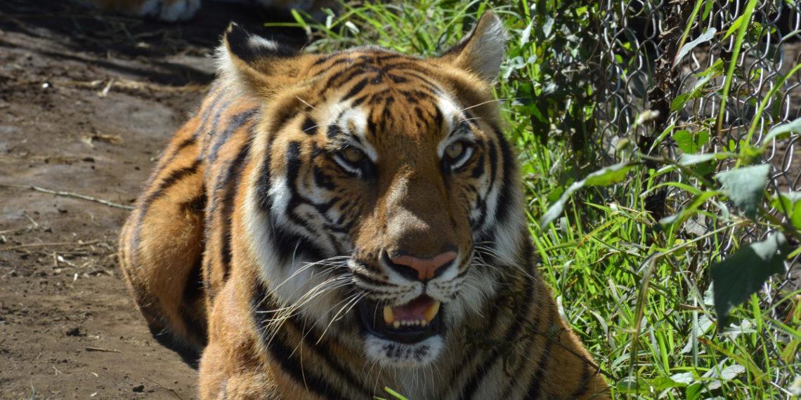 Trasladan a santuario de Sudáfrica a 12 tigres y 5 leones rescatados en Centroamérica