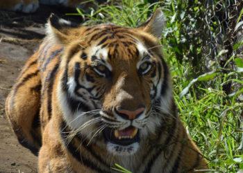 Los tigres y leones fueron trasladados a un santuario natural en Sudáfrica. Foto: EFE