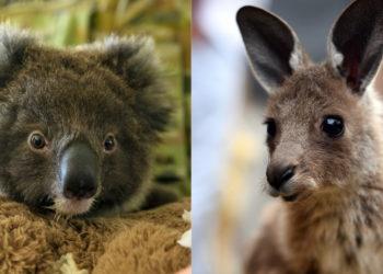 Miles de especies de animales se han visto afectadas por los incendios que consumen Australia. Foto: AFP