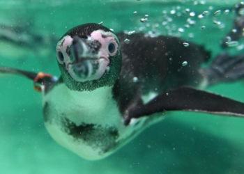 Imagen de referencia de un pingüino. Foto: AFP