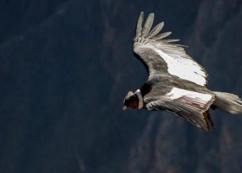 Imagen de referencia del Condor de los andes. América Digital. Pixabay