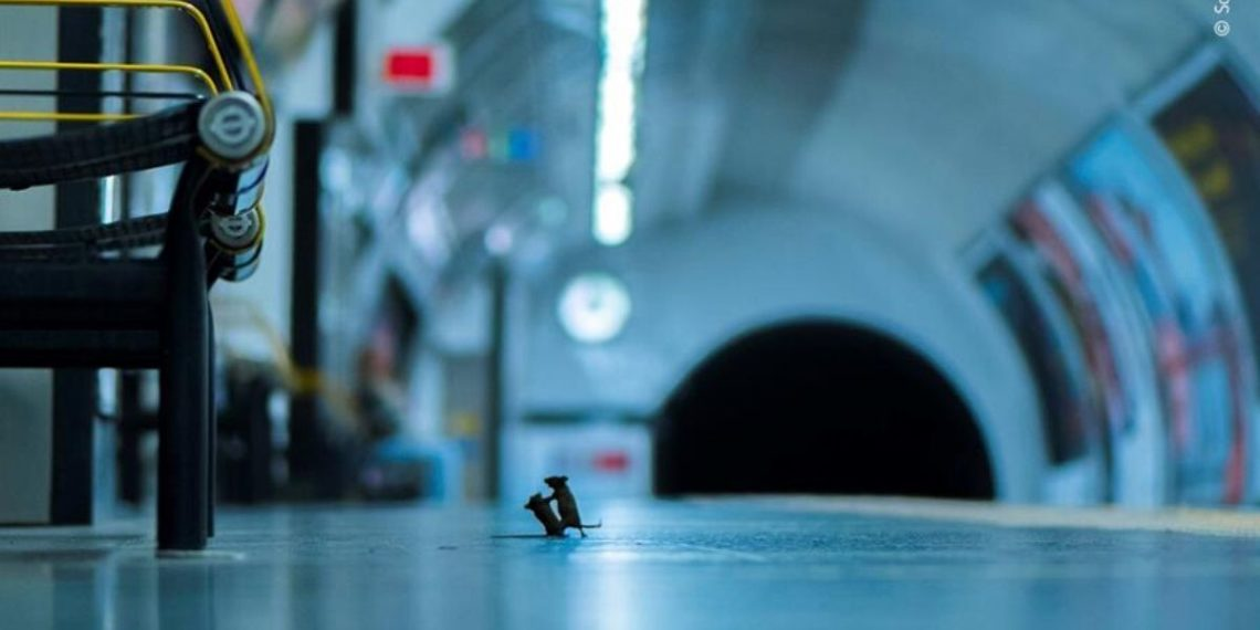 Una pelea de ratones en el metro de Londres, mejor foto de naturaleza del año. América Digital. EFE
