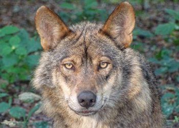 la perra que realmente era realmente una loba ibérica. América Digital. Pixabay