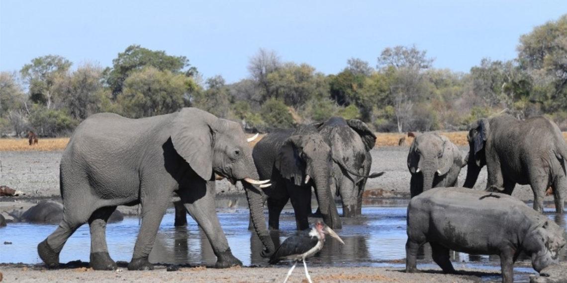 Aprueban las primeras licencias para cazar elefantes en Botsuana. Foto: AFP