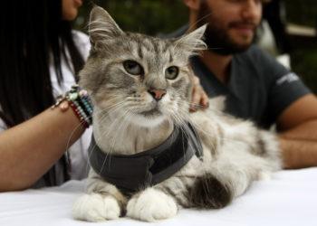 Romeo, el gato al que le implantaron un marcapasos para salvarle la vida. Foto: EFE