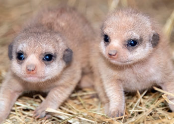 Nacen dos crías de suricatas en un zoológico de Estados Unidos. Foto: AP