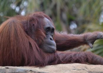 ¿Puedo ayudarte? La lección de una orangután que quiso ayudar a un hombre en la isla de Borneo. Foto: Pixabay.