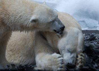 Aumenta el canibalismo entre osos polares en el Ártico por el derretimiento del hielo