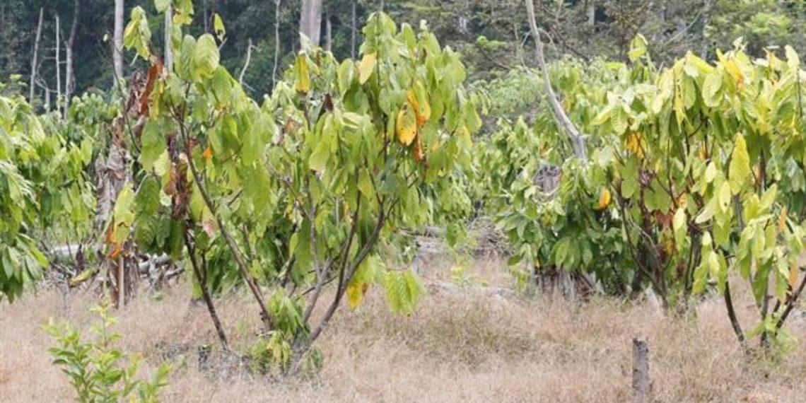 adnoticias-cultivoscocacolombia-2020-EFE