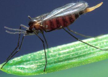 adnoticias-insecto-asia-moscalinterna-2020-pixabay