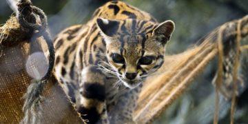 Alimentación en los zoológicos de Colombia está en riesgo por el coronavirus. Foto: AFP